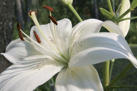White lily in full bloom. Isolated on a blurry background.