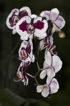 Beautiful Mil tonia orchid flowers isolated on a blurry background. Stock Photo