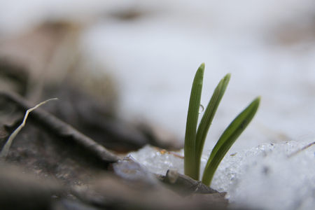 Crocus leaves sprouting through the snow during spring season.