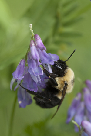 Bumblebee foraging in tufted vetch flowers. Isolated on a green blurry background.