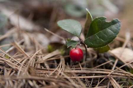 Fruit of the American Wintergreen. Eastern teaberry. Checkerberry. Boxberry. Gaultheria procumbens. Isolated on a blurry background.