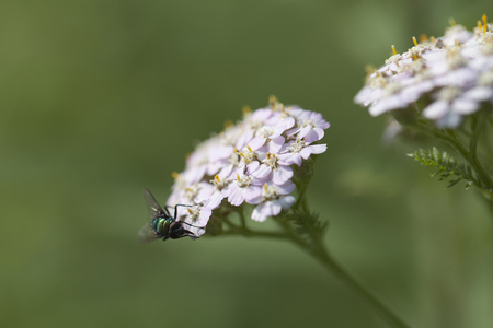 yarrow: Green fly foraging in pink yarrow flowers. Isolated on a blurry background.