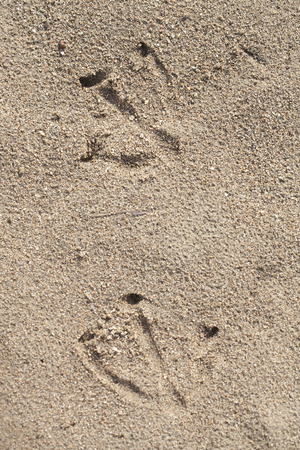 Goose prints in the sand. Web-footed prints. Stock Photo