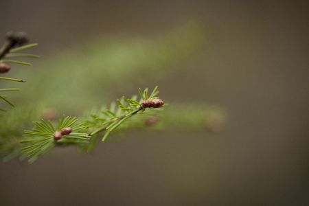 Spruce branches with buds in the spring season. Isolated on a brown blurry background. Stock Photo
