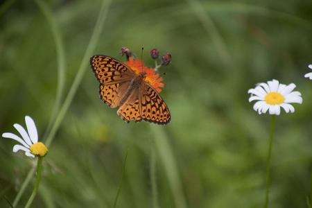 Hermosa mariposa naranja (gran fritillary spangled) en naranja diente de león de montaña. Aislado en un fondo verde borroso con margaritas blancas. Foto de archivo - 80595497