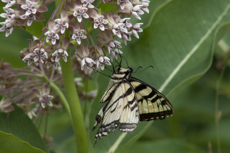 Beautiful swallowtail butterfly foraging on pink milkweed flowers.