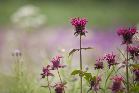Bright pink bee balm flowers (Monarda) isolated on a blurry background. Stock fotó