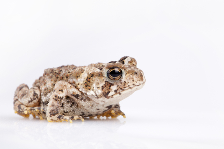 Miniature toad on a white surface. Mini toad isolated on white background.