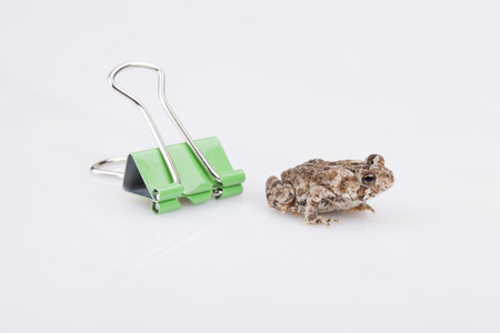 Miniature toad and green paperclip on a white surface. Mini toad isolated on white background.