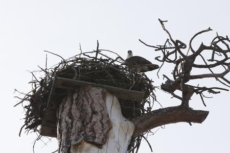 Osprey in its nest looking down ferociously.