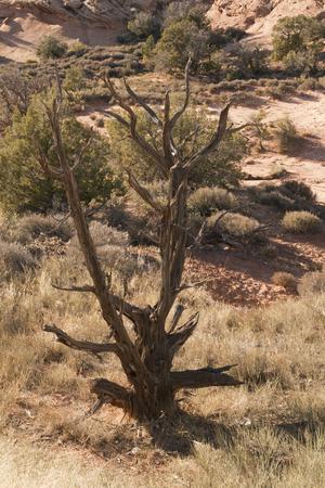 砂漠のアーチーズ国立公園、ユタ、米国で乾燥された木は。 写真素材 - 84417729