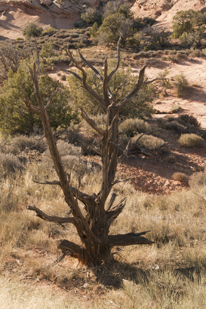 Dried tree in the desert of Arches National Park, Utah, USA. Imagens