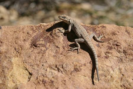 Lizard bathing in the sun on a red rock in Colorado.
