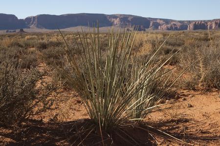 砂漠のモニュメント バレー、ユタ州アリゾナ州、米国での植生。