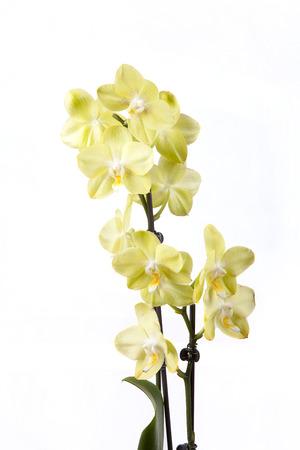 美しい黄色の蘭は白い背景で隔離。 写真素材 - 87955397