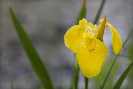 Yellow iris in full bloom on a blurred background 写真素材