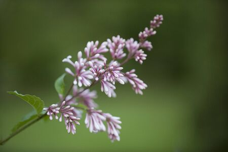 Purple lilac branch blooming against a blurred bushy background