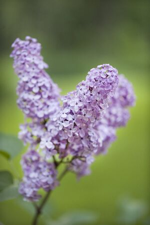 Purple lilac branch in full bloom against a blurred bushy background