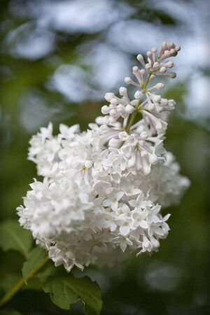 White lilac branch in full bloom against a blurred bushy background 写真素材 - 132950081