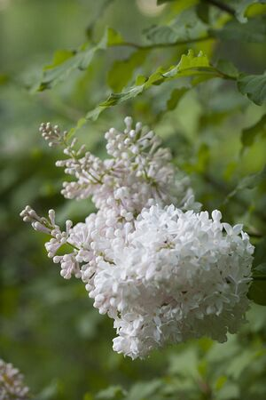 White lilac branch in full bloom against a blurred bushy background