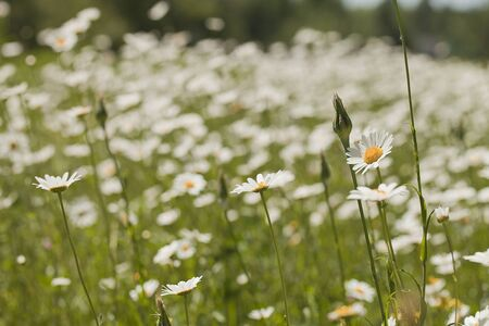 White daisies (Leucanthemum vulgare) on a blurred background 写真素材 - 132950395