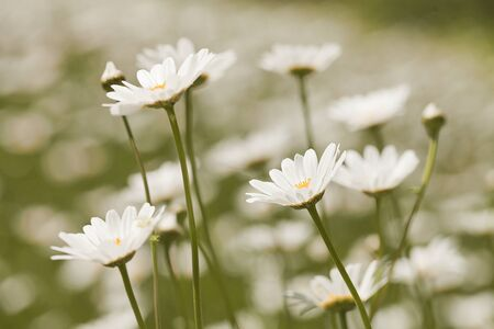 White daisies (Leucanthemum vulgare) on a blurred background 写真素材