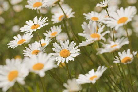 White daisies (Leucanthemum vulgare) on a blurred background Imagens - 132950435