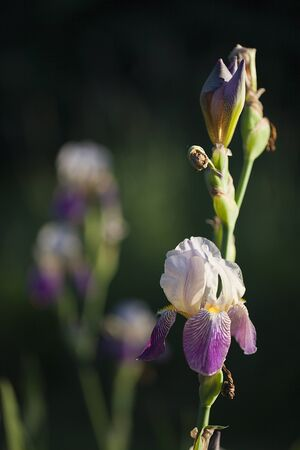 Purple irises on a blurred background