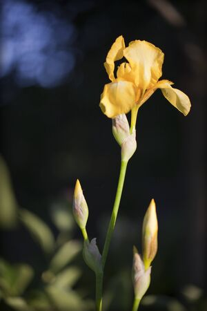 Yellow iris on a blurred background Imagens - 132950516