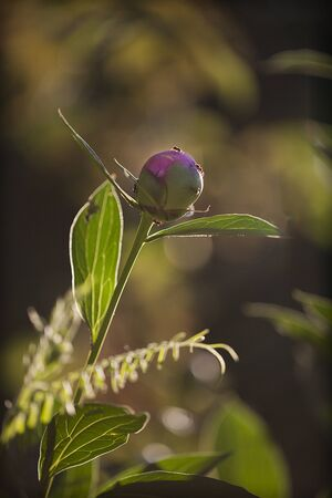 Back lit peony bud with ants on a blurred background 写真素材