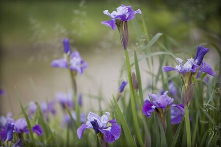 Purple irises on a blurred background 写真素材 - 132950564