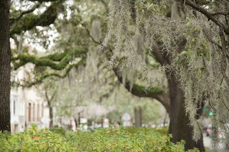 Spanish moss on beautiful crooked old live oak trees in the old streets of Savannah, Georgia, in the United States of America. Imagens