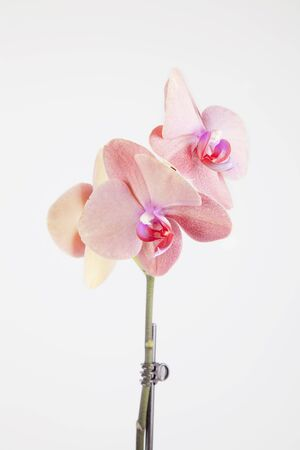Beautiful sunset orchid in bloom isolated on a white background. Imagens