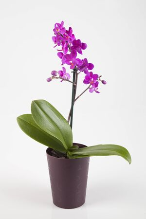Beautiful purple orchid in bloom isolated on a white background.