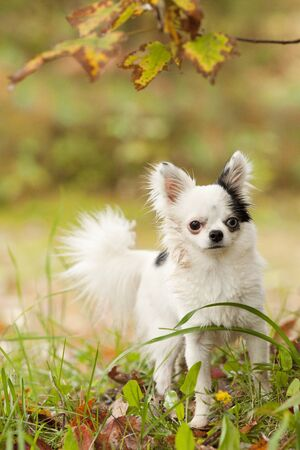 Beautiful long hair Chihuahua posing in the autumn leaves during the fall season.