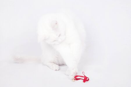 Beautiful white cat playing with a red ribbon isolated on a white background.