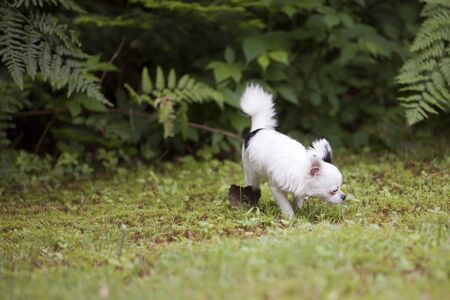 Cute long hair Chihuahua enjoying the grass outside in the summer time. Imagens