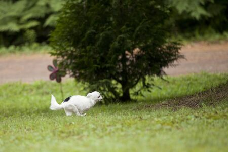 Cute long hair Chihuahua running on the grass outside in the summer time. Imagens