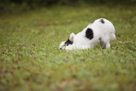 Cute long hair Chihuahua rolling on the grass outside in the summer time.