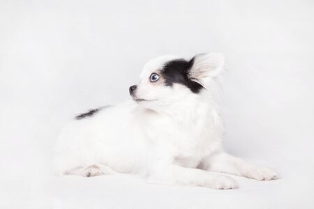 Beautiful long hair Chihuahua isolated on a white background. Imagens