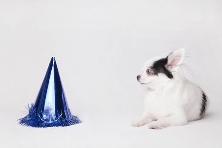 Beautiful long hair Chihuahua celebrating her birthday. Isolated on a white background. Imagens