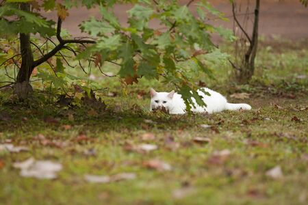 Beautiful all white cat with blue eyes and pink nose posing in the autumn leaves during the fall season.