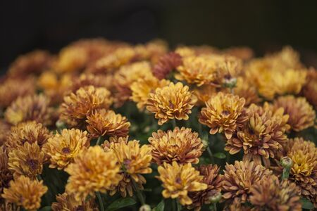 Bouquet of toasted orange chrysanthemum flowers. Bicolor chrysanthemum flowers.