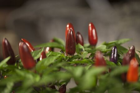 Bouquet of ripe red hot chili peppers. Potted red chilli peppers against a blurry background. Imagens