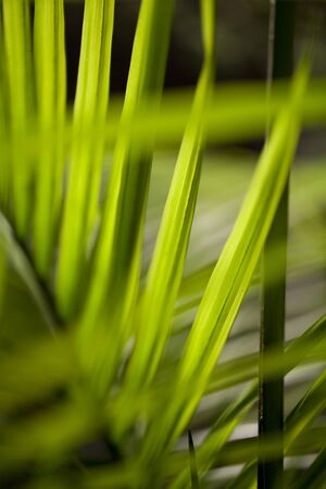 Bright green palm leaves. Branch of palm leaves on a blurry background.