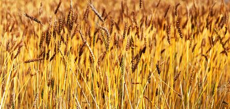 kandinsky: Golden barley