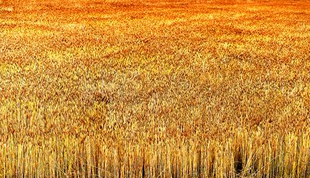 kandinsky: Autumn barley field