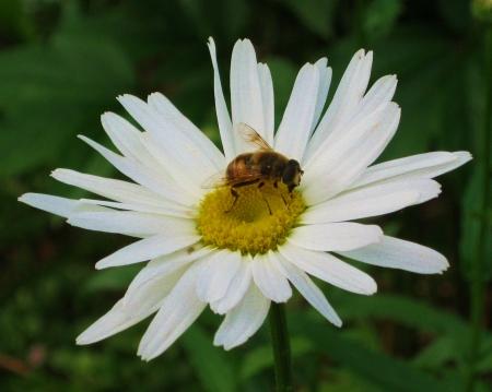 꿀벌은 데이지에