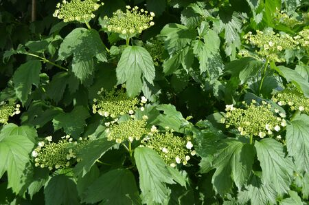 guelderrose: Photo of blooming Guelder-Rose. Stock Photo