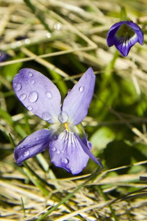 violet with the drops on petals Stock Photo